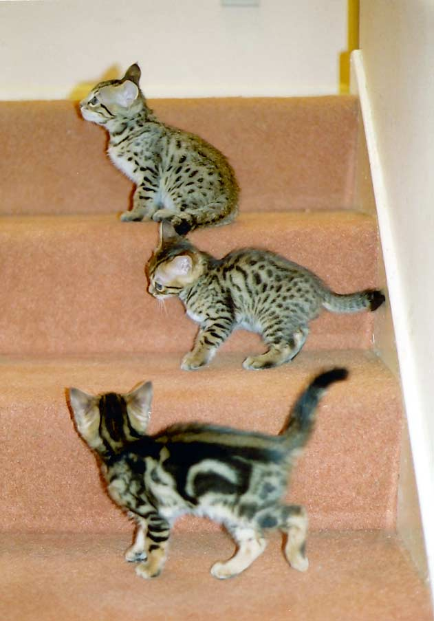 All 3 kittens on the stairs at seven weeks old