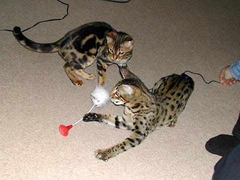 Taz and Tinca playing with a toy, c. 6 months old
