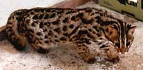 Asian Leopard Cat Baloo, 2nd view