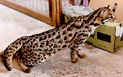 Asian Leopard Cat - Baloo