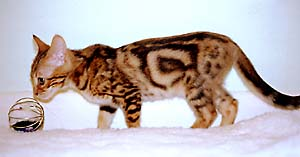 Example of marble coat pattern : Shannon at 13 weeks old